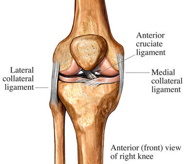 Anterior Knee Ligaments