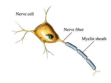 Myelin Sheath
