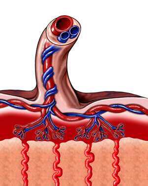 Umbilical Cord Connected to Placenta