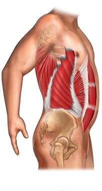 Muscles of the Abdominal Wall - Side View