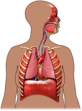 Female Torso with Respiratory System