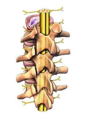Lumbar Vertebrae with Spinal Cord, Posterior/Lateral View