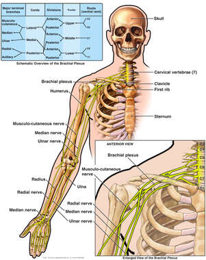 Anatomy of the Brachial Plexus
