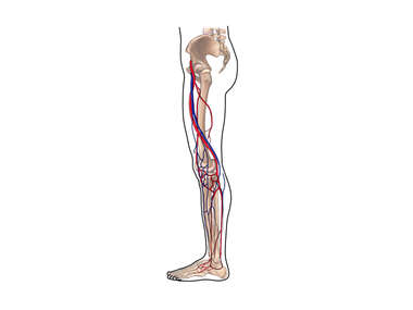 Blood Vessels of the Leg