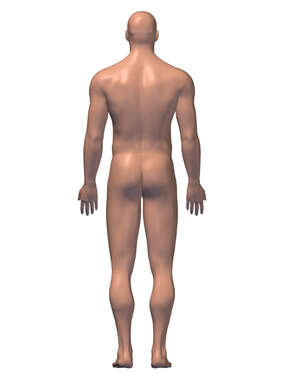 Posterior Anatomy - 3D Male