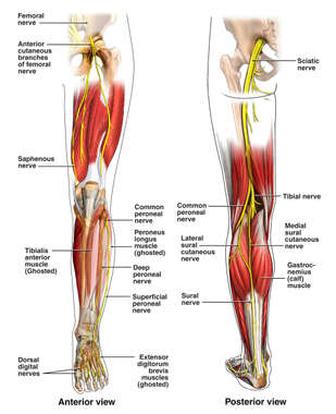Anatomy of the Lower Extremity