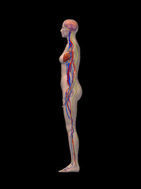 Cardiovascular and Nervous Systems - Left Lateral View