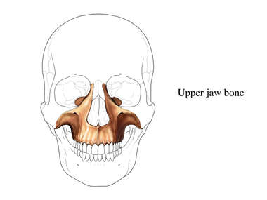 Upper Jaw Bone