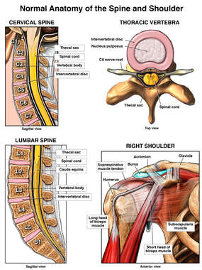 Normal Anatomy of the Spine and Shoulder