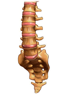 Lumbar Vertebrae with Intervertebral Discs, Anterior View