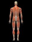Anatomy of the Muscular System, 3D Posterior Male: Black Background