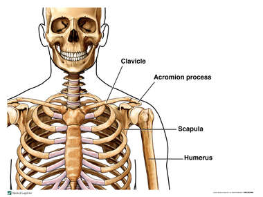 Bony Structures of the Shoulder