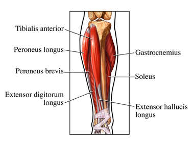 Muscles of the Lower Leg: Anterior (Front) View