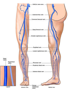 Venous Anatomy of the Lower Extremity