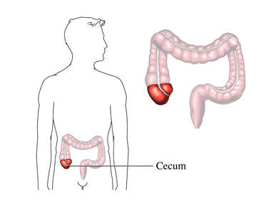 The Cecum
