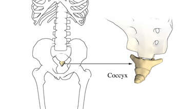 The Coccyx