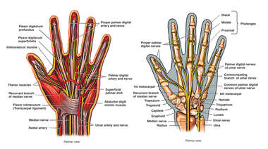 Anatomy of the Hand-Palmar View
