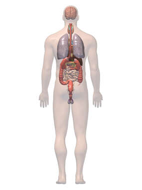 Anatomy of the Digestive and Respiratory System, 3D Posterior Male