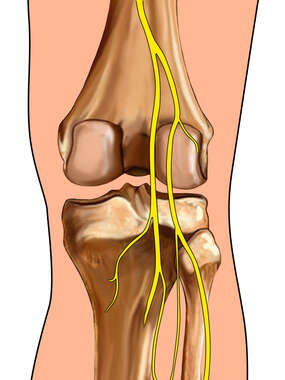 Knee with Nerves: Posterior View
