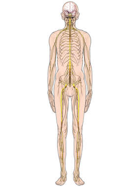 Elderly Male with Spinal Cord and Nerves