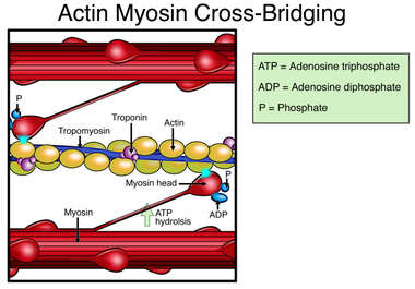Actin Myosin Cross-Bridge Cycle