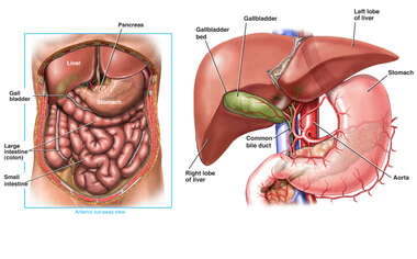 Anatomy of the Biliary System