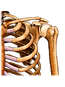Shoulder: skeletal