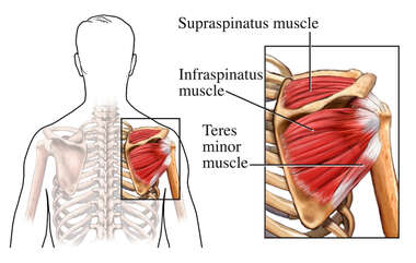 Rotator Cuff - Posterior View
