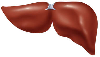 The Liver: Posterior View