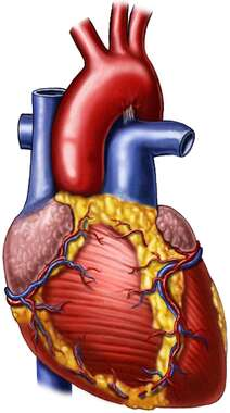 Heart and Great Vessels, Anterior View
