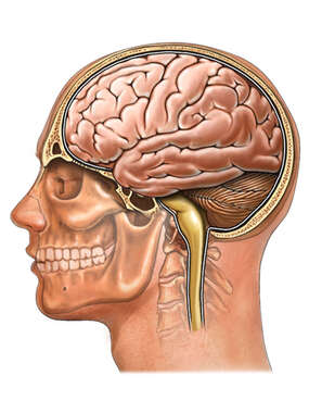 Head and Neck with Brain and Spinal Cord, Lateral View