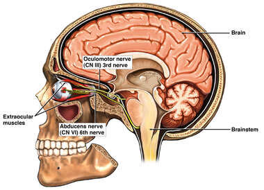 Cranial Nerves: Oculomotor (III) and Abducens (VI)