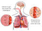 Lungs - Respiration and Oxygen Exchange