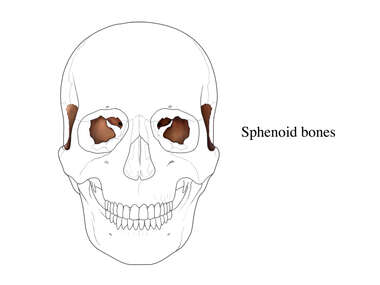 Sphenoid Bones of the Skull