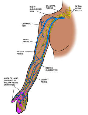 Anatomy of the Upper Right Extremity