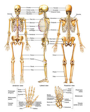 Anatomy of the Skeletal System