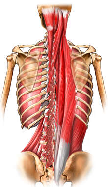 Deep Muscles of the Back
