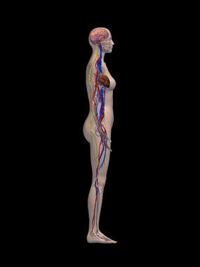 Cardiovascular and Nervous System - Right Lateral View