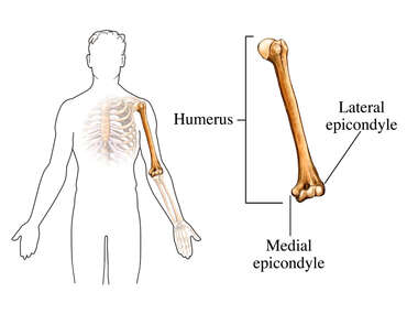 Epicondyles of the Humerus