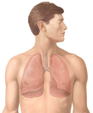 Anterior Male Figure with Lungs