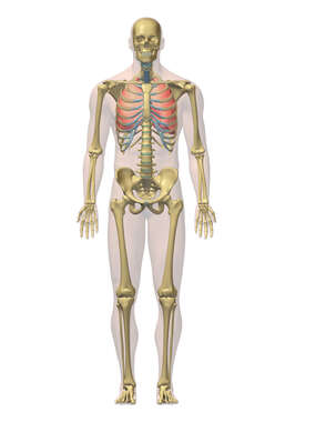 3D Male: Respiratory and Skeletal System