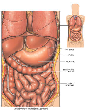 Anatomy of the Abdominal Organs