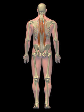 Anatomy of the Intrinsic Muscles of the Back, 3D Posterior Male-BW