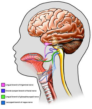 Cranial Nerve Innervation of the Throat and Mouth