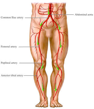 Blood Flow from the Aorta - Artery Circulation of the Legs