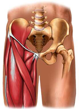 Musculature of the Groin