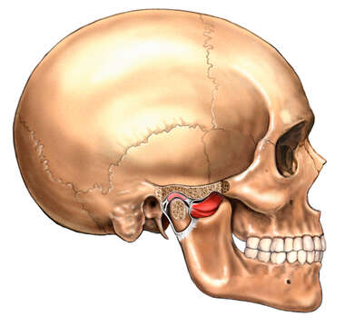 Temporo-mandibular Joint: Pterygoid Muscles