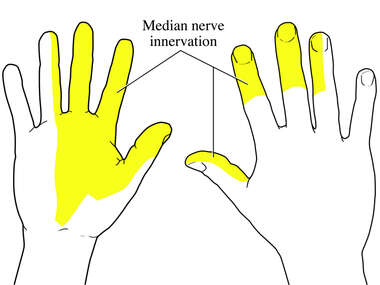 Median Nerve Innervation in Hand