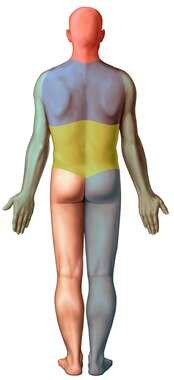 Rule of Nines, Posterior Male