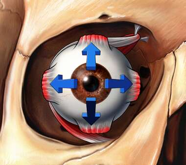 Eyeball in Orbit with Directional Arrows, Anterior View